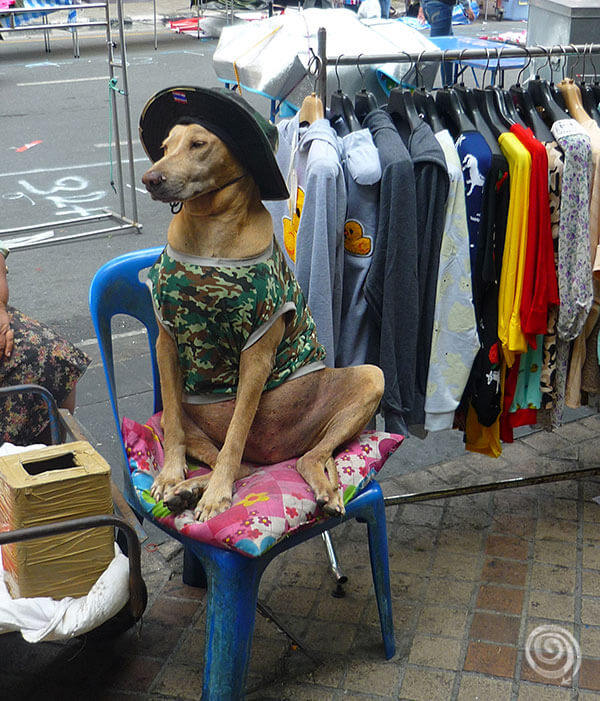 cool dog Thailand