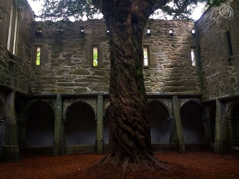 muckross abbey tree killarney in the Ring of Kerry ireland